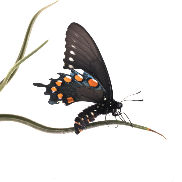P.S. #1 Pipevine Swallowtail on airplant by Judith Monroe