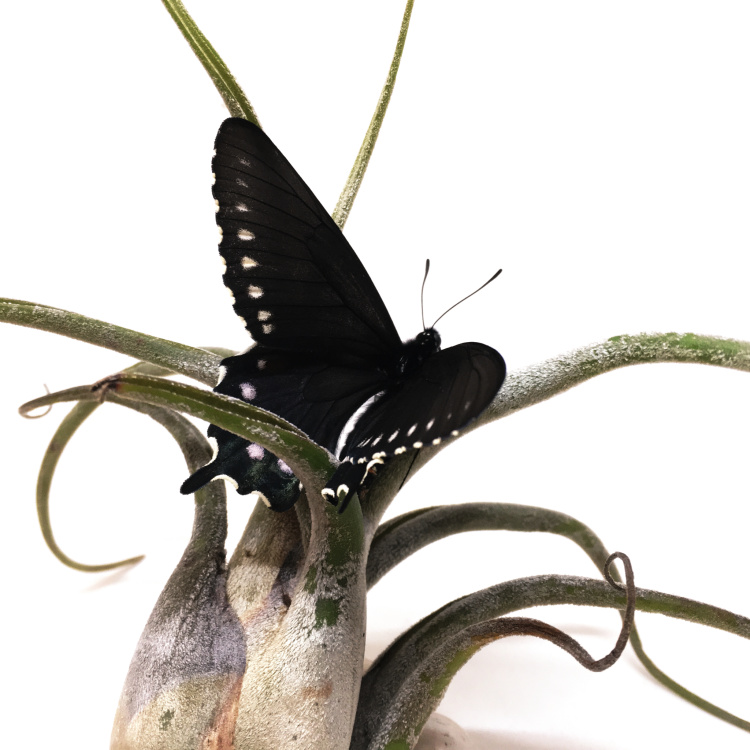 P.S. #3 Pipevine Swallowtail on airplant by Judith Monroe