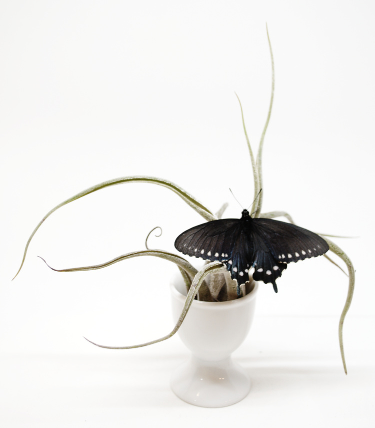P.S. #4 Pipevine Swallowtail on airplant by Judith Monroe