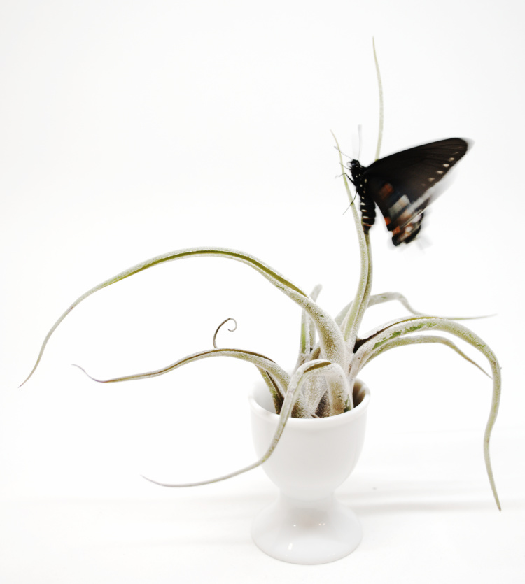 P.S. #5 Pipevine Swallowtail on airplant by Judith Monroe
